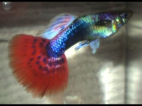 Tail Of The Dragon Photos >> Male Tuxedo Red Mosaic Fancy Fan Tail Guppy - YouTube