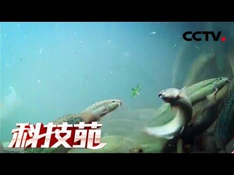 《科技苑》 20180109 健美泥鳅养成记 | CCTV农业