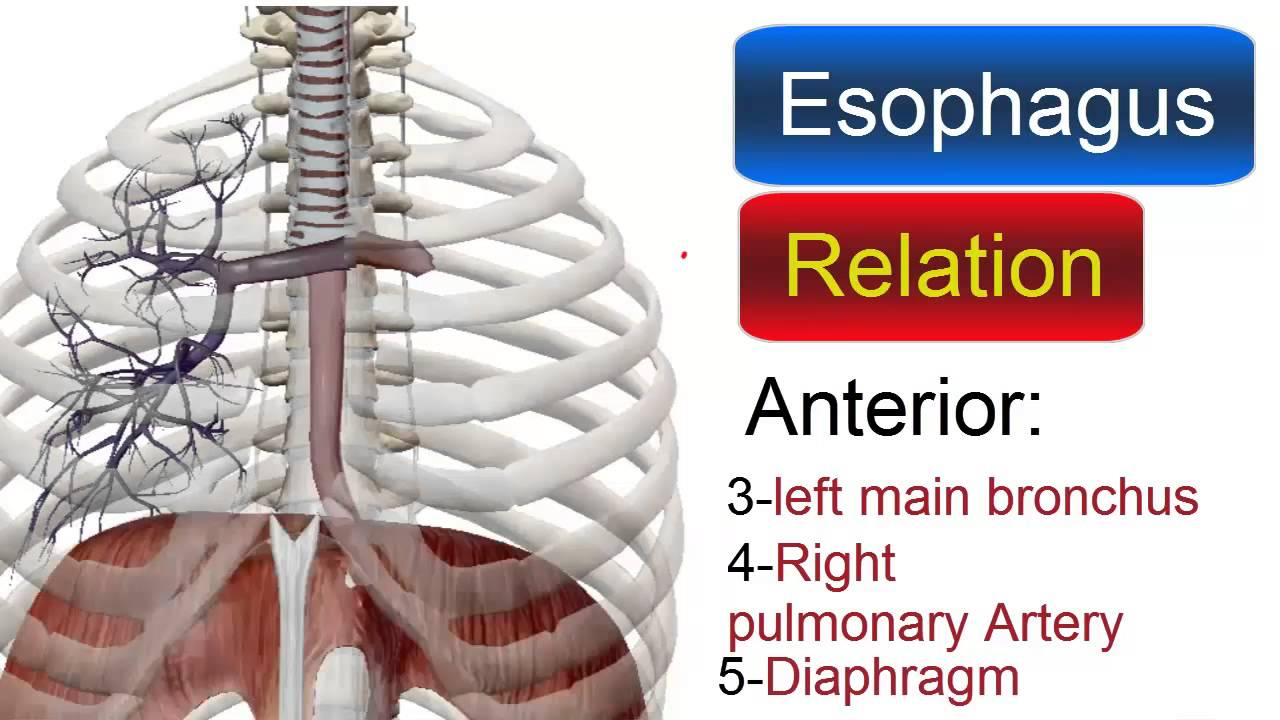Relation of esophagus - YouTube