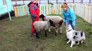 ТПИ-2. Австралийская овчарка Коттон Вингс Британия(Это видео создано с помощью видеоредактора YouTube (http://www.youtube.com/editor), 2014-09-29T10:51:10.000Z)