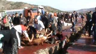 Repeat youtube video Kurban Kesimi KKB  slaughtering watching  girls. Cut the victim. Turkey ankara