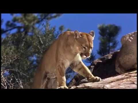 Walt Disney's Big Red 1962 Big Red Vs the Mountain Lion
