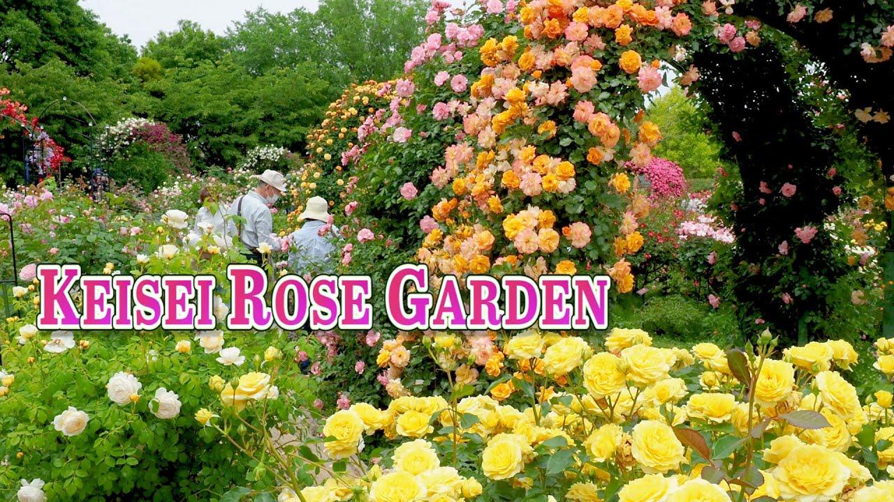 Keisei Rose Garden 2021 Spring. #京成バラ園 #4K