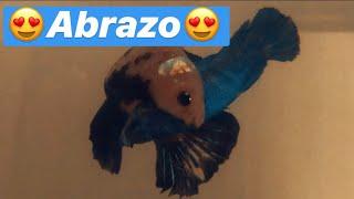Abrazo Y Desove Pez Betta Macho Koi Hmpk Hembra Royal Blue Hmpk