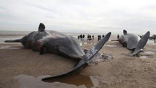 Еще один кашалот погиб у берег Англии