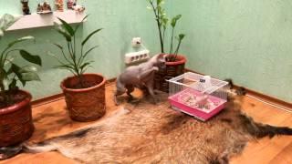 Крыса сфинкс против кота сфинкса.