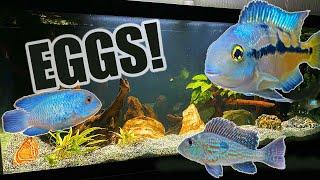 75 Gallon Aquarium | American Cichlids Update