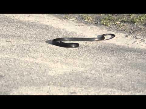 Con rắn quay cuồng như bị điên tại vì sao?