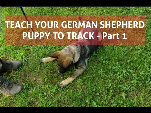 How to train your German Shepherd puppy to Track - Part.1