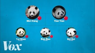 China's panda diplomacy, explained by : Vox