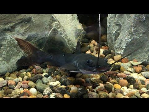 Asian Red Tail Catfish Into My 125 Gallon Fish Tank!