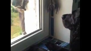 Süßer Waschbär klettert Hauswand hoch - Hunde schauen ihm zu