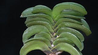 風蘭 Neofinetia falcata フウラン