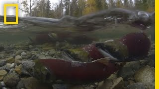 Millions of Salmon Return Home | National Geographic