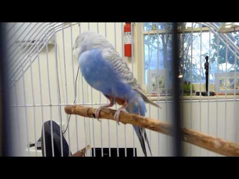 how to stop budgie plucking feathers