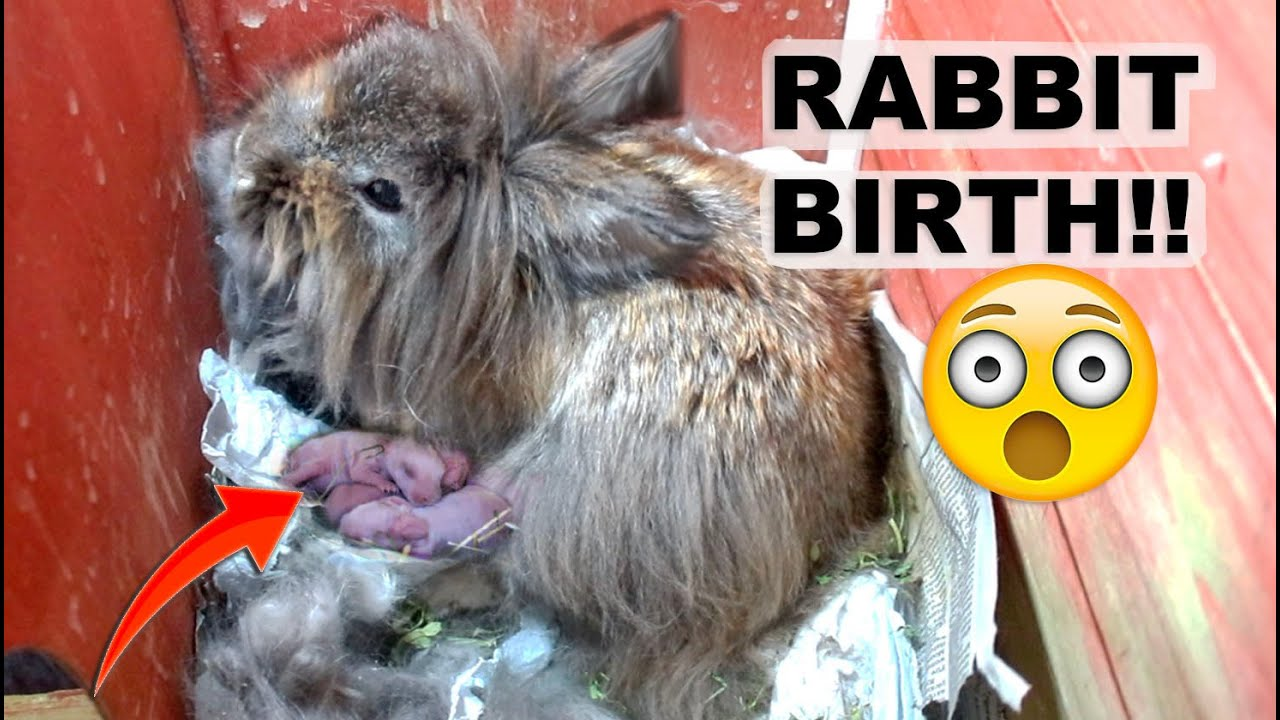 LIONHEAD RABBIT GIVES BIRTH UNEXPECTEDLY *AMAZING*