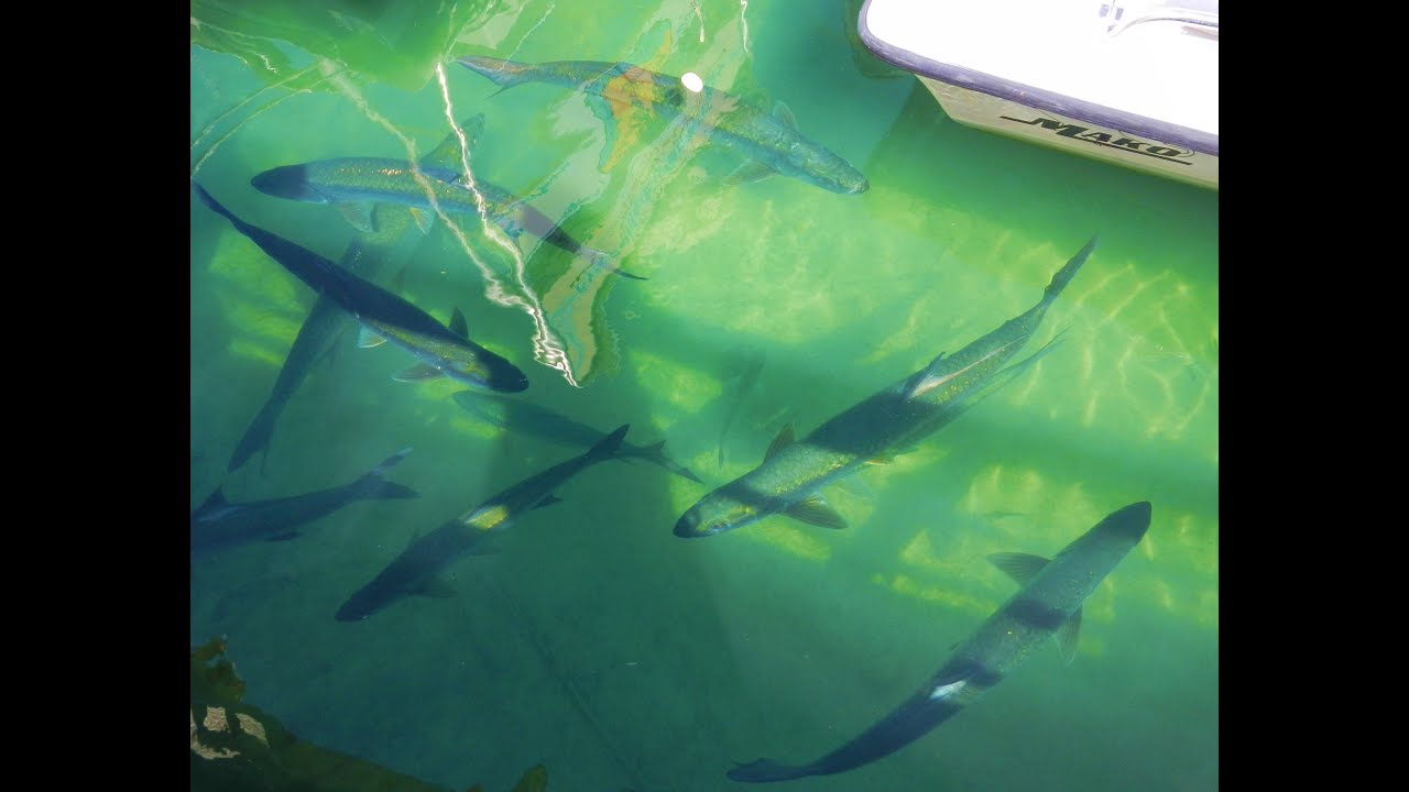 Hungry tarpon waiting for fishing charter boats in key for Deep sea fishing key west florida