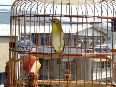 Pleci Ngerol Isian Kenari dan Kolibri Ninja | Pleci Jawara