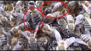 Duelul matcilor - Cantecul de lupta al tinerelor regine ale albinelor pentru suprematia di ...