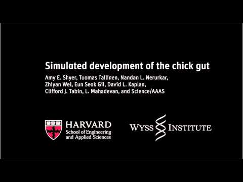 Simulated development of the chick gut | Harvard School of Engineering and Applied Sciences
