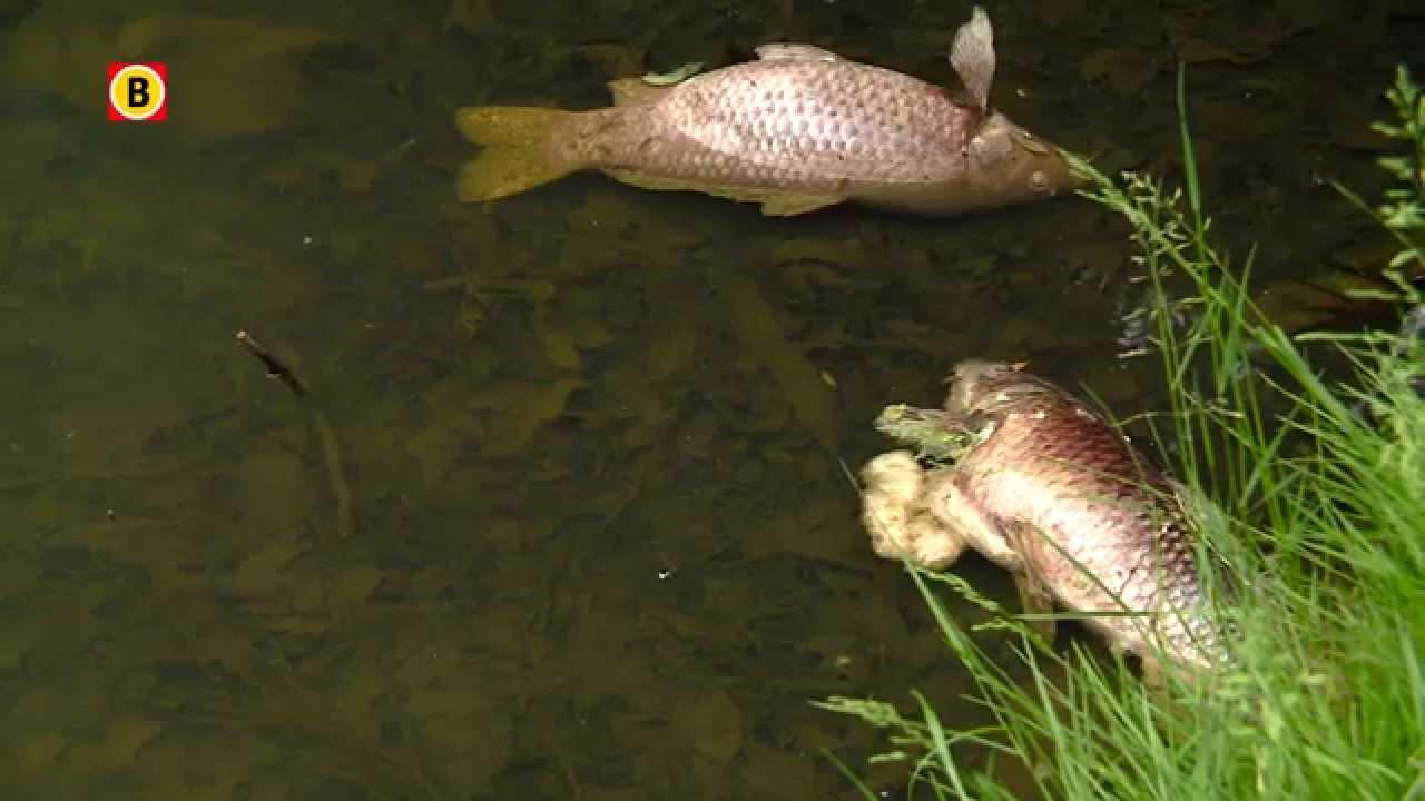 Vissen In Vijver : Dode vissen en eenden in vijver stokhasseltlaan tilburg youtube