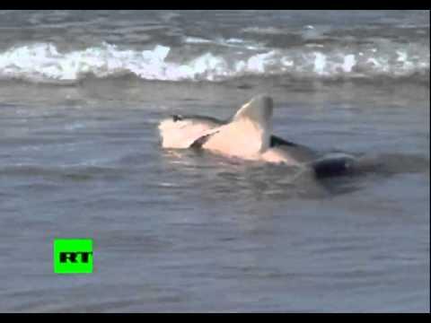 Nueva Zelanda Orca se enfrenta a un tiburn con un perro como