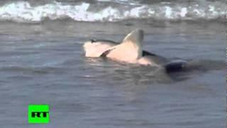 Nueva Zelanda: Orca se enfrenta a un tiburón... ¡con un perro como árbitro!