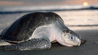 tortugas marinas 2014 santuario de tortugas de estrella del mar mazatlan