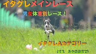 2015年9月13日 イタグレメイン 男女体重別レース! イタグレAカ...