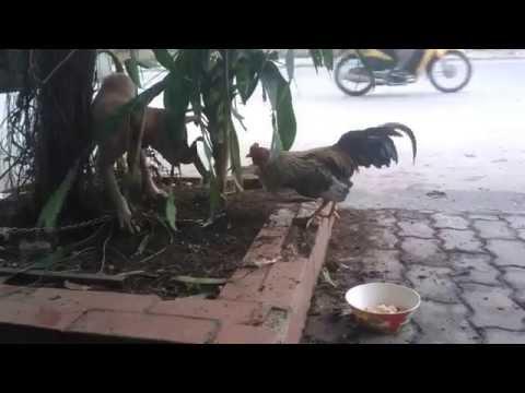 Cuộc đối đầu giữa gà đánh ghen và chó bị xích - part 2