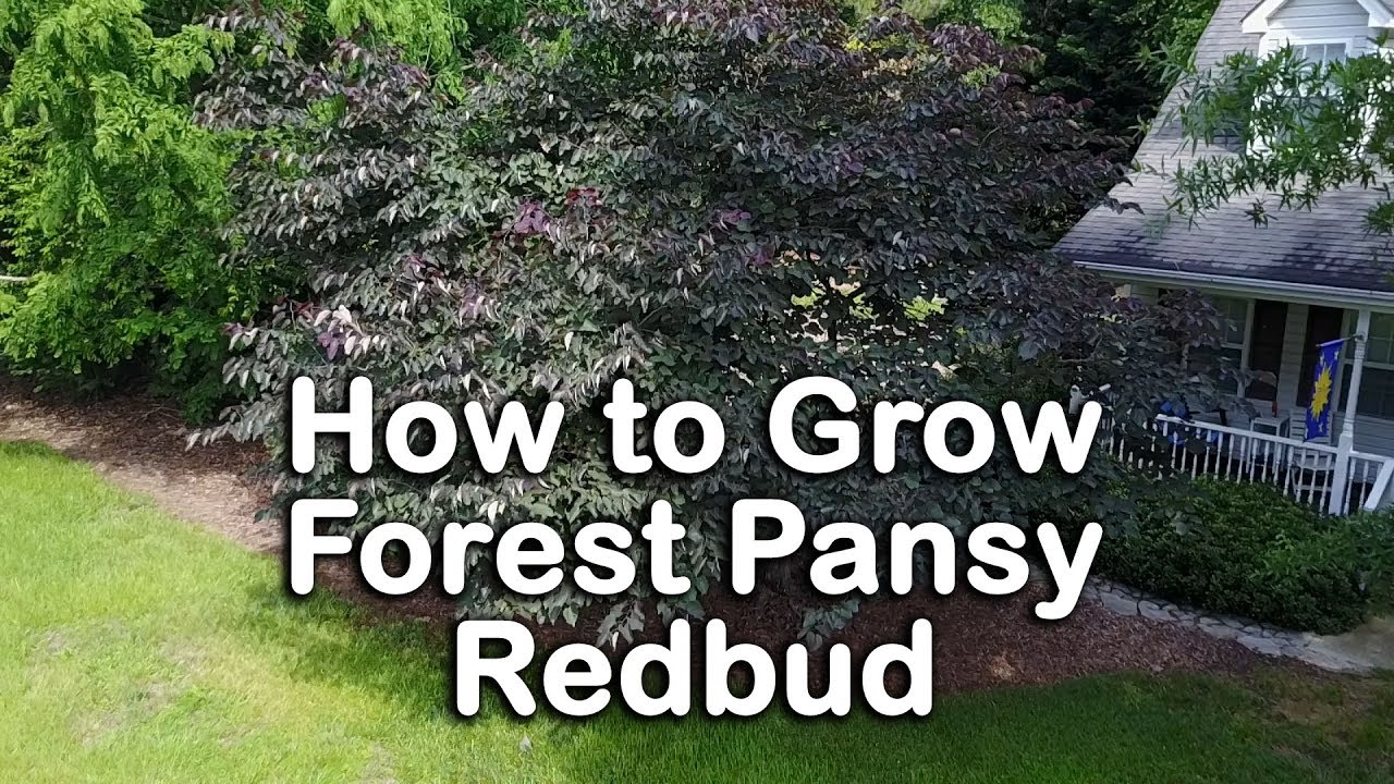 How To Grow Forest Pansy Redbud Purple Foliage Pink Flowering