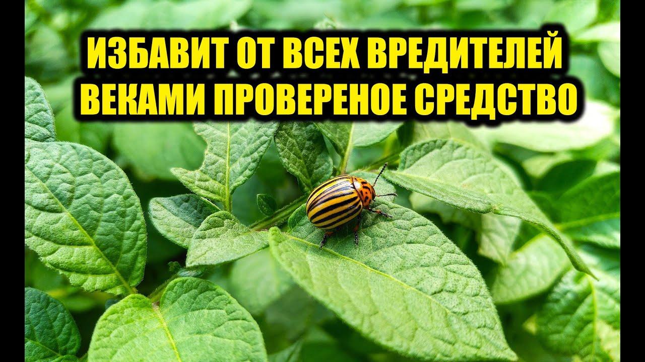 Сделайте так и колорадского жука больше не будет, супер средство от колорадского жука