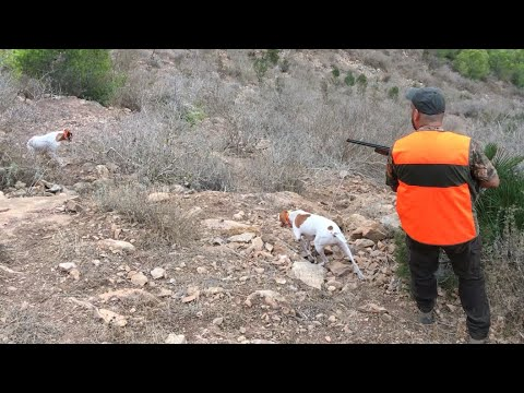 Chasse perdrix au maroc 2020 | Partridge hunting with english pointer dogs