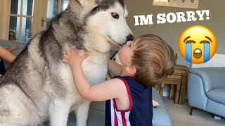 Huskies Scare Baby Fighting But Say Sorry With Cuddles!! [TRY NOT TO SMILE]