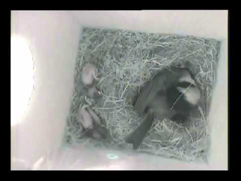 House wren attacks Chickadee nest box with chicks