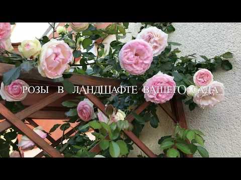 Розы в ландшафте участка
