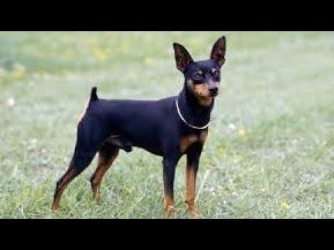 Minpin ( miniature pinscher ) video compilation by PET LOVERS ANDHRA