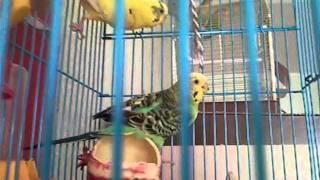 говорящие волнистые попугайчики и неразлучники