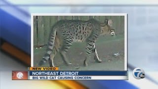 Big wild cat causing concern for Detroit residents