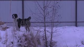 "Питомник ""Шилеле"": племенная пара туркменских собак"