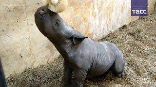 Детеныш редкого черного носорога родился в зоопарке Сент Луиса
