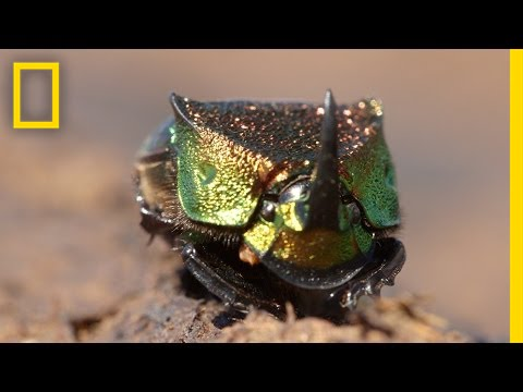 Meet a Beautiful Beetle That Loves to Eat Poop | National Geographic