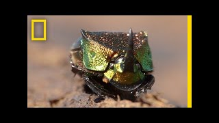 Meet a Beautiful Beetle That Loves to Eat Poop | National Geographic thumbnail