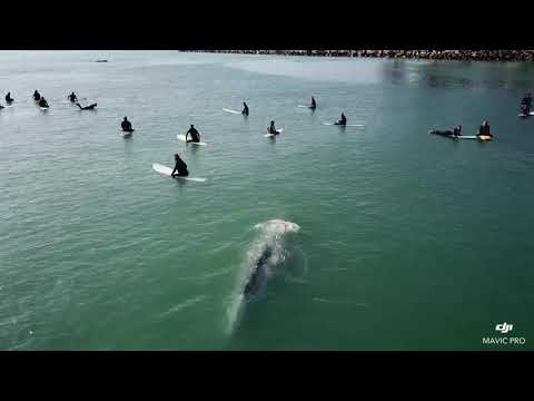Whale Swims Right Under Surfers!