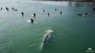 Grey Whale Swims Directly Beneath Surfers