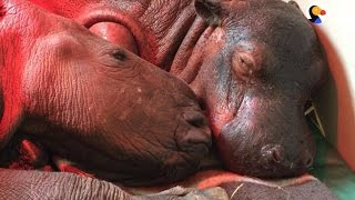 Baby Hippo Who Lost His Family Makes His First Friend