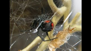 Redback Spider Female - Enclosure Set Up and Hunting