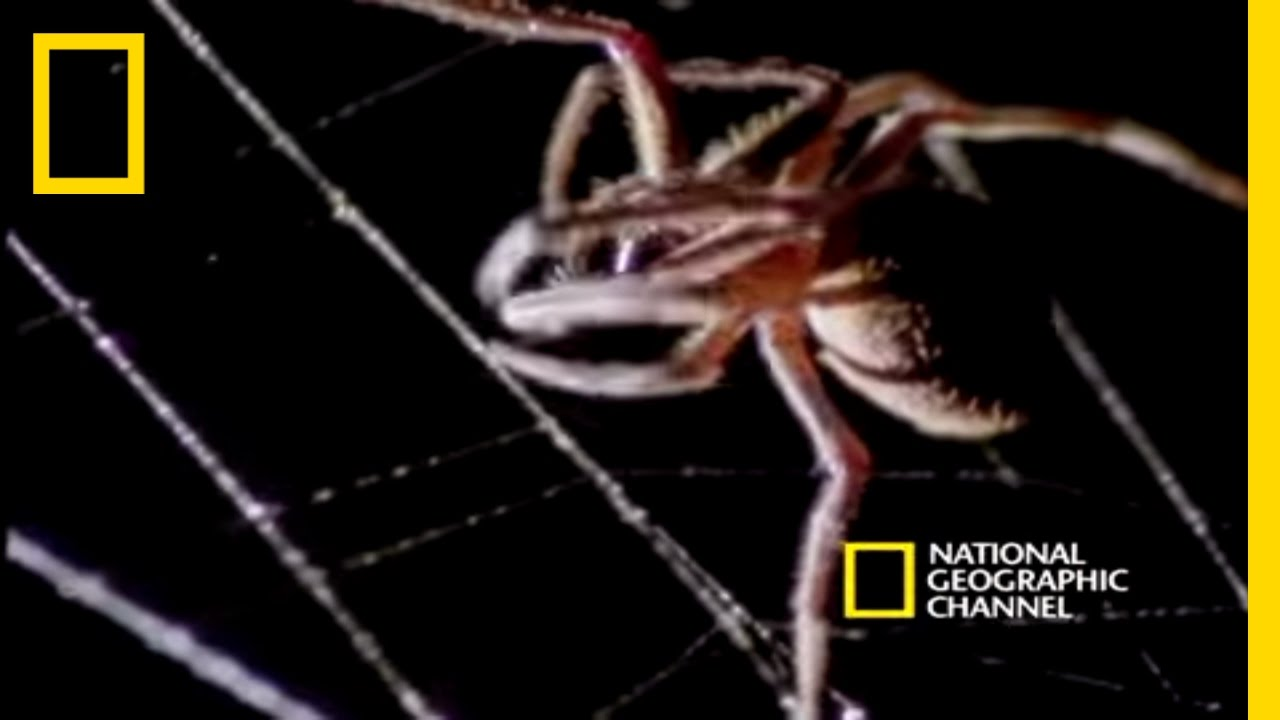 spider kills bat national