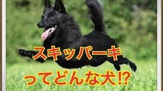ペットで犬を飼おうと迷っている方へ〜スキッパーキ〜 世の中には様々な...