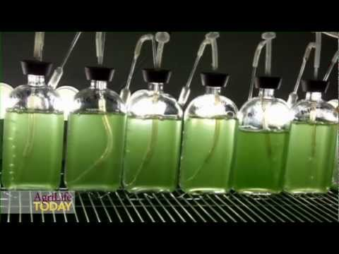 Oil from Algae